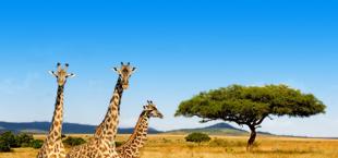 Giraffe op savanne in Kenia
