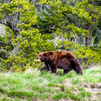 Grizzly beer in een bos in Canada