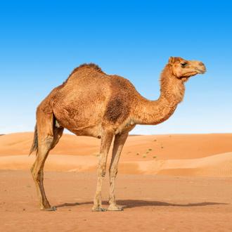 Kameel in de woestijn van Oman