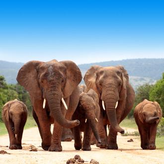 Kudde olifanten op de weg in Kenia
