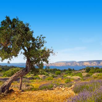 Lavendelveld met olijfboom in Hvar Kroatië