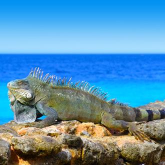 Leguaan op rots met zee op achtergrond Kralendijk Bonaire