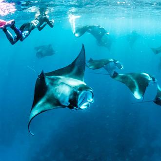 Snorkelen tussen manta roggen bij de Malediven