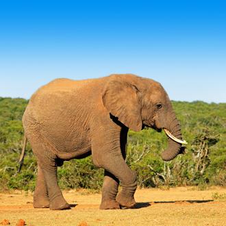 Olifant in Addo Elephant National Park in de omgeving van Kaapstad