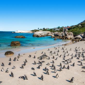 Pinguins op het strand in Kaapstad