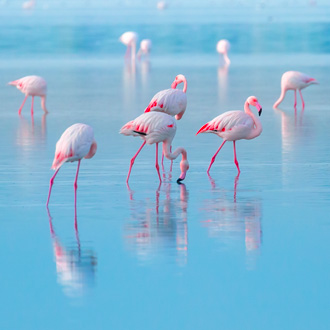 Roze flamingo op het blauwe zoutmeer bij Larnaca, Cyprus