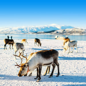 Sneeuw landschap met rendieren Noorwegen