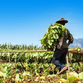 Tabaksplantage in de Vinales Vallei, Cuba