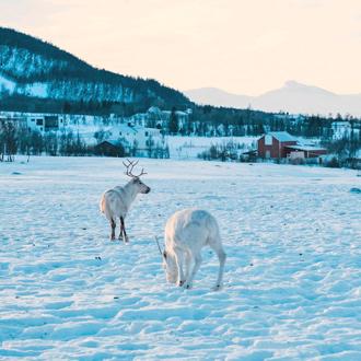 Witte rendieren in de sneeuw bij Tromso