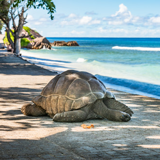 Grote schildpad op La Digue, Seychellen