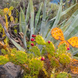cactussen strand los cancajos